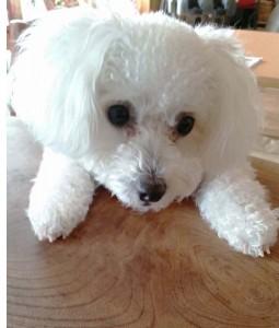 山口県山本様ご愛犬ボロニーズ!ももちゃん!