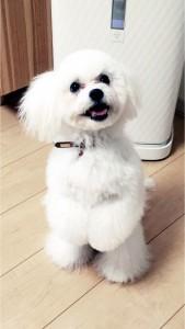 北海道旭川市 篠永様のご愛犬ボロニーズ! りぼんちゃん!