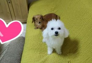 山口県豊浦町 Y様のご愛犬ボロニーズ! パルちゃん!