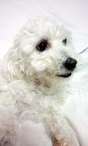 北海道帯広市 植松様のご愛犬 ボロニーズ! ピッチュ君!