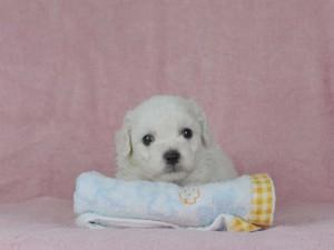 [B]ボロニーズ男の子2016年8月28日生まれ