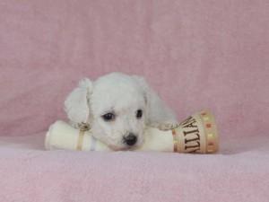 [C] ボロニーズ男の子2016年8月28日生まれ