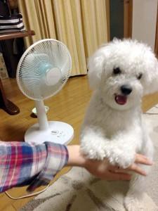 山口県山口市 那須様のご愛犬 ボロニーズ!ロン君!