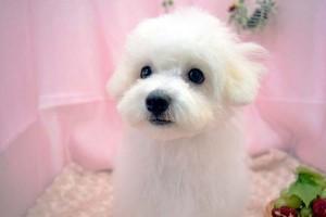 愛知県 F様のご愛犬 ボロニーズ! エイミーちゃん!
