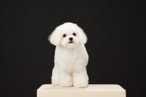 福岡県 馬原様のご愛犬ボロニーズ! らんちゃん!