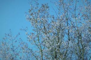 咲くのをためらった桜姫ちゃん、そしてありがとう!