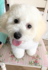 神奈川県 白井様のご愛犬 ボロニーズ! ブランネージュちゃん!
