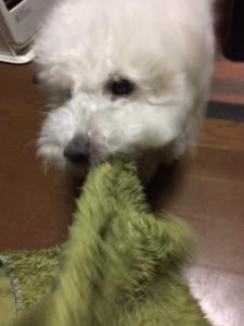 山口県 KO様のご愛犬ボロニーズ !  ルイ君 !