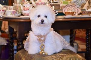 東京都 和田様のご愛犬 ボロニーズ! ヴィヴィアンちゃん!