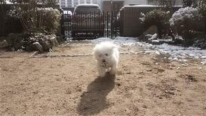 山口県 松浦様のご愛犬 ボロニーズ! 空(クウ)くん!