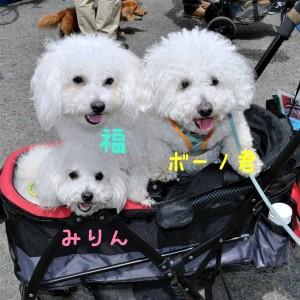 神奈川県 T様のご愛犬 ボロニーズ! ボーノ君!& 千葉県 Y様のご愛犬 ボロニーズ! 福君! みりんちゃん!