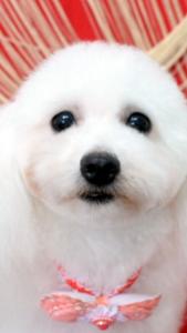 大阪府 和田様のご愛犬 ボロニーズ! りんたろう君! かりんちゃん!
