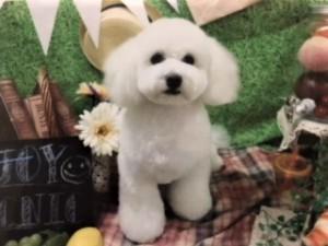 大阪市 N様のご愛犬 ボロニーズ! メロディ君!