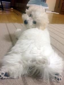 大阪府中野様ご愛犬ボロニーズ!モコ君!