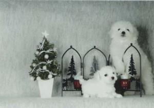 クリスマスはボロニーズと