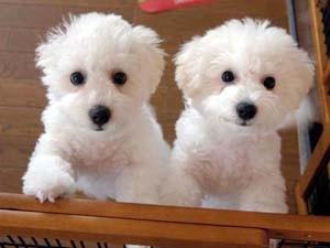 M様のご愛犬 大吉君(左)福助君(右)