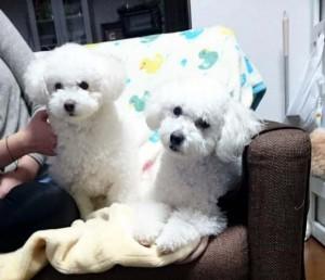 石川県 元谷様のご愛犬 ボロニーズ!フーガ君とカンナちゃん!