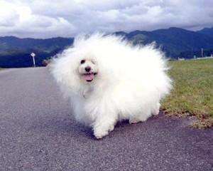 富山県 こんの様のご愛犬 ボロニーズ! サム君!