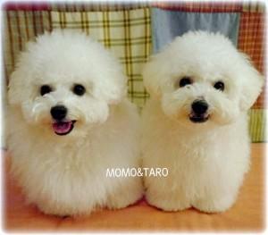 神奈川県 T様のご愛犬 ボロニーズ! 太郎君!