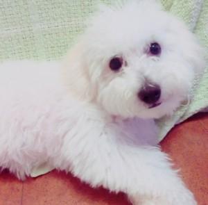 長崎県 大安様のご愛犬ボロニーズ! まるちゃん!