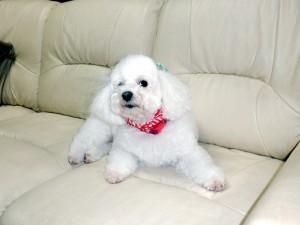 山口県 島田様のご愛犬ボロニーズ! プリン君!