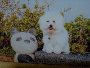 和歌山県 高草様のご愛犬 ボロニーズ! ビタミン君!