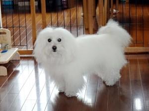 東京都 石間様のご愛犬 ボロニーズ! きなこちゃん!