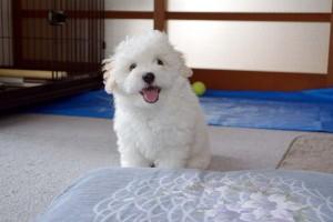 福井県 中田様のご愛犬 ボロニーズ! 大福君!