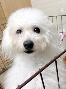 東大阪市 和田様のご愛犬 ボロニーズ!   かりんちゃん!