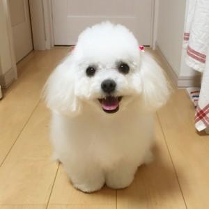 北海道旭川市 篠永様のご愛犬!   りぼんちゃん!
