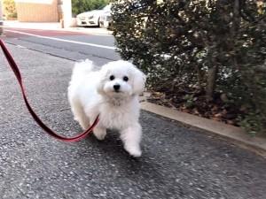 東京都 O様のご愛犬 ボロニーズ! クレアちゃん!