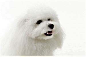 神奈川県 仲本様のご愛犬 ボロニーズ! メレンゲちゃん!