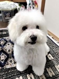 神奈川県 明鎭様のご愛犬 ボロニーズ! 児太郎君!