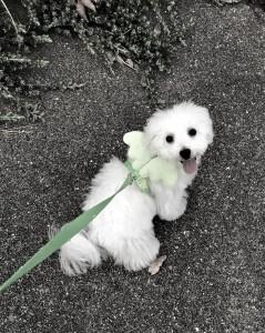 兵庫県 榎様のご愛犬 ボロニーズ! コロンちゃん!