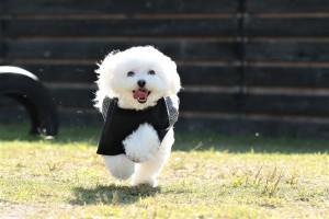 山口県 K様のご愛犬 ボロニーズ! キラリちゃん!