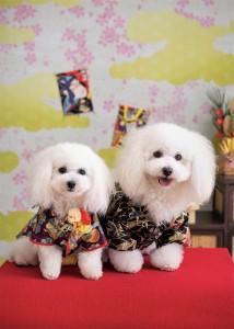 岡山県 音田様のご愛犬 ボロニーズ! ポート君! マリンちゃん!