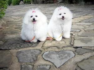 京都府 Y様のご愛犬 ボロニーズ! かたくりちゃん! こでまりちゃん!