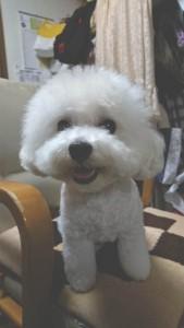 兵庫県 T様のご愛犬 ボロニーズ! しずくちゃん! マルチーズ!真珠ちゃん!こむぎちゃん!
