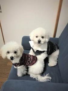 神奈川県 明鎭様のご愛犬 ボロニーズ! 児太郎君! 夢ちゃん!