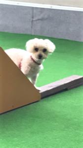 山口県 山本様のご愛犬 ボロニーズ! ポポロンちゃん!