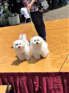 千葉県 吉田様のご愛犬 ボロニーズ! 福君! みりんちゃん!