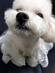 神奈川県 明鎭様のご愛犬 ボロニーズ! 夢ちゃん!