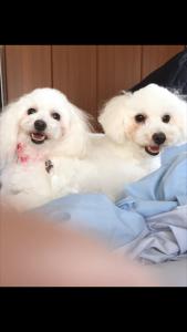 大阪市 和田様のご愛犬 ボロニーズ! 鈴太郎君! かりんちゃん!