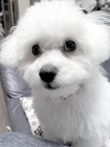 奈良県 M様のご愛犬 ボロニーズ! らんちゃん!