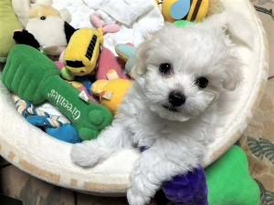 兵庫県 大西様のご愛犬 ボロニーズ! アルモ君!