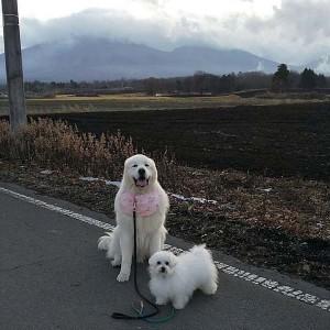 群馬県 日高様のご愛犬 ボロニーズ! ルキウス君! ピレニーズ! ジョフレ君!