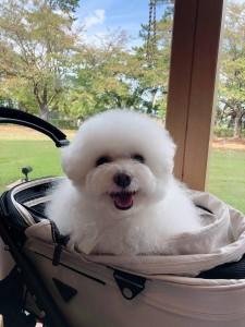 愛知県 福田様のご愛犬 ボロニーズ!  エイミーちゃん!