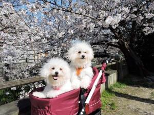 千葉県 S様のご愛犬 ボロニーズ!  ソフィアちゃん!  ロココちゃん!