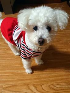 福岡県 村瀬様のご愛犬 ボロニーズ ! さくらちゃん!