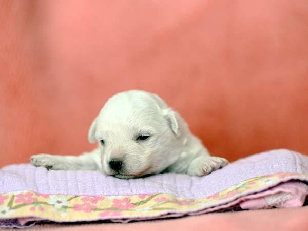 【G】ボロニーズ 女の子 2020年12月12日生まれの写真